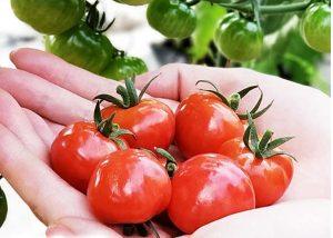 Cà chua trái cây Hokkaido món quà đắt giá từ đất nước Nhật Bản